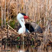 Crane Counts Continue to Fly in KZN