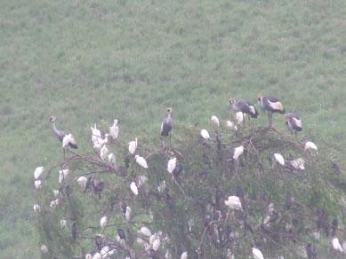 cattle egrets, cranes and cormorants
