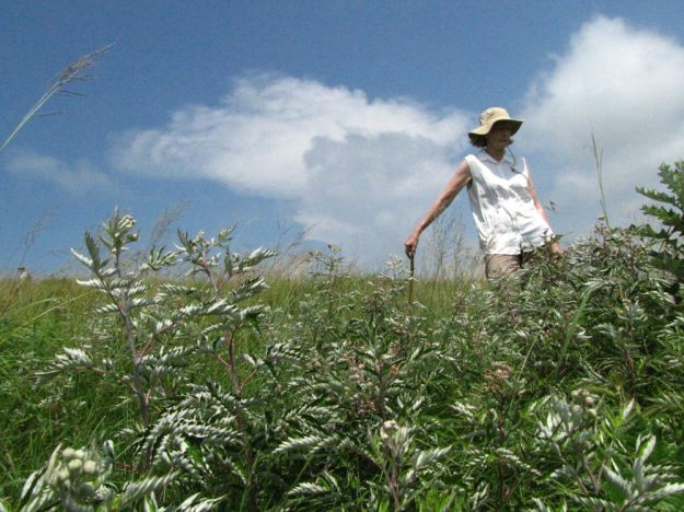Celia admires the indigenous bramble. Edgeware 068res.