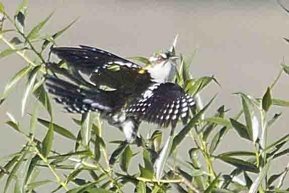diedericks cuckoo
