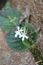 streptocarpus pusillis
