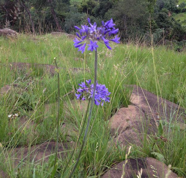 Agapanthus africanus.res.crop