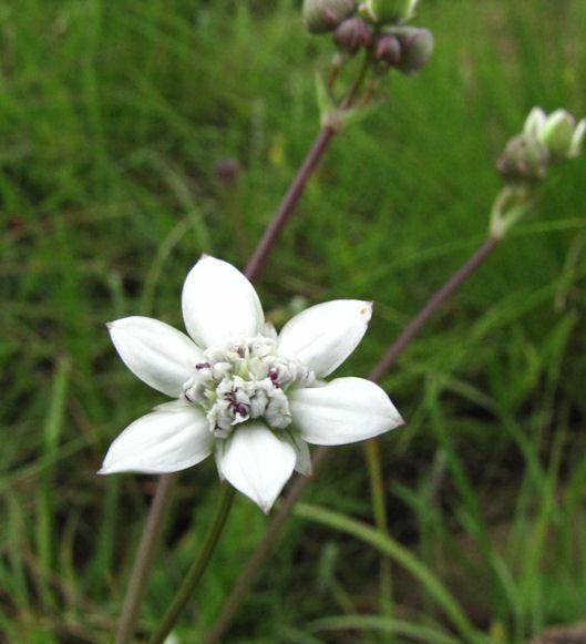 Alepedia natalensis 1