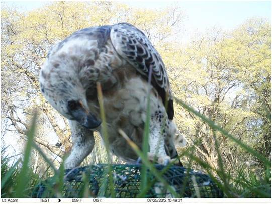 amera trap photo of Crowned Eagle