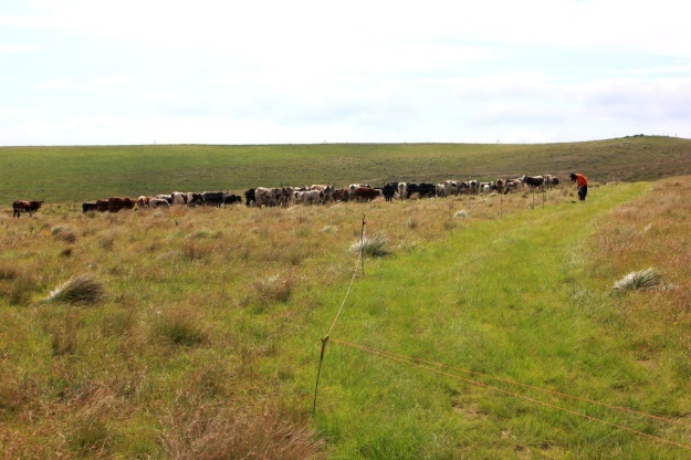 cattle controlled by electric fencing