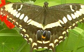 emporer swallowtail