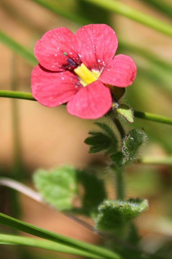 Jamesbrittenia breviflora IMG_8276 C Grant