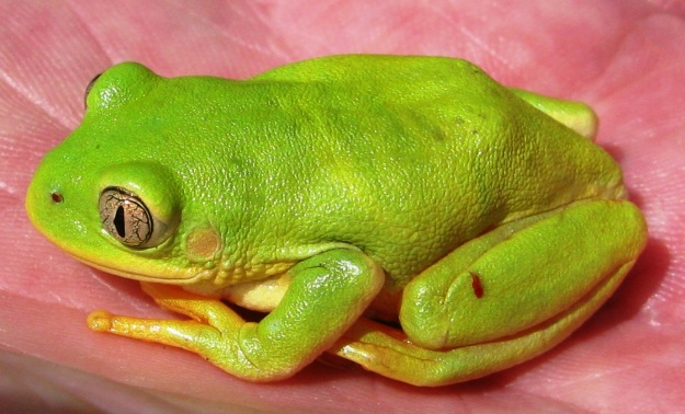 long toed tree frog
