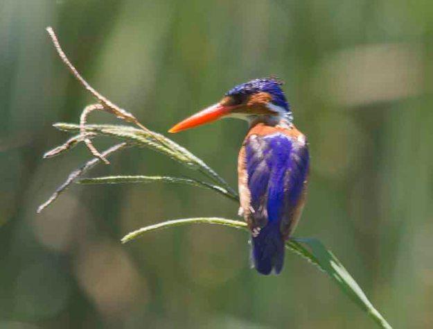 malachite kingfisher (2)