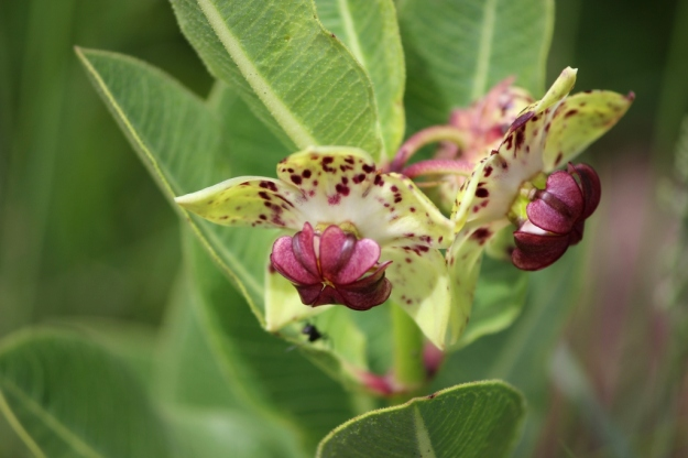 pachycarpus natalensis