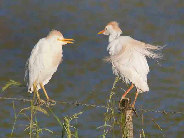 cattle egrets breeding colours