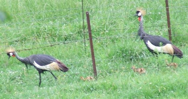 crowned crane chicks