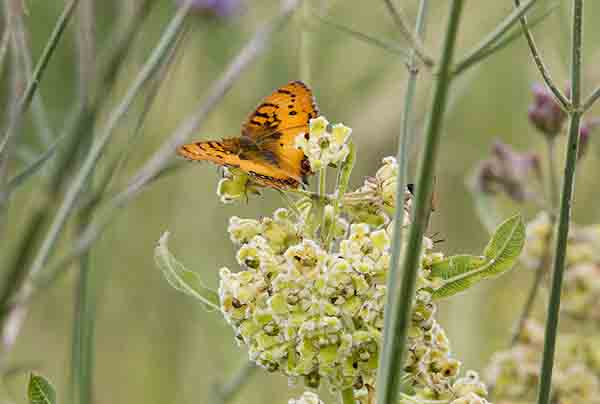pirate butterfly on milwort