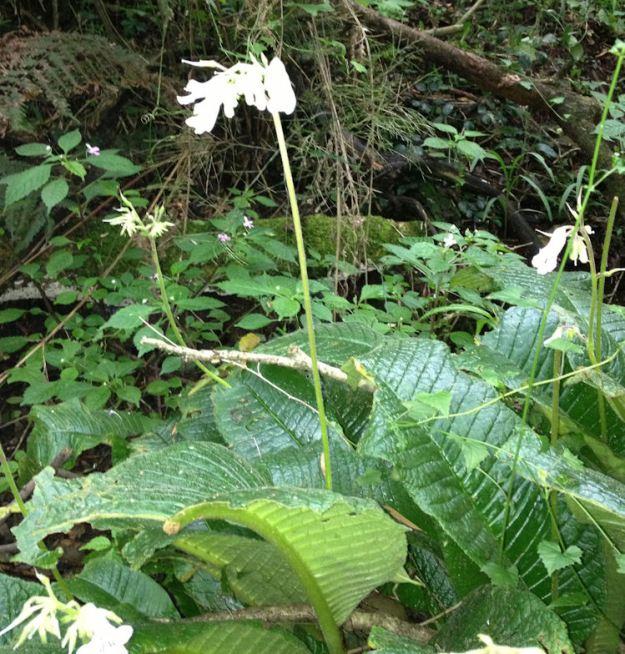 Streptocarpus.res