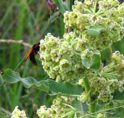 xysmalobium undulatum and wasp