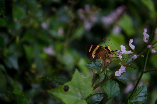 butterfly on plectranthus