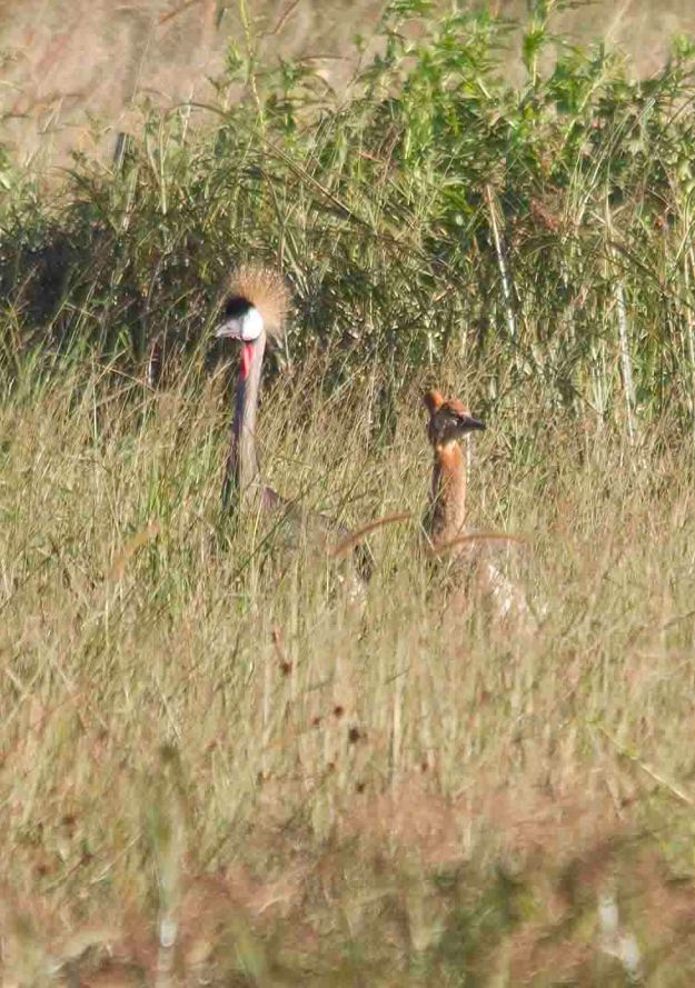 crowned crane and junior