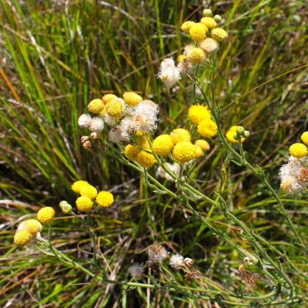 IMG_8839 Schistosephium crataegifolium CGrant