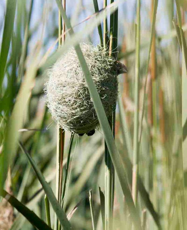 thick bille dweaver nest