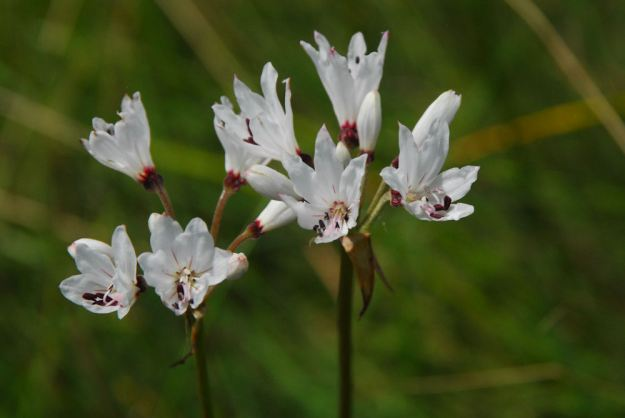 nerine pancratioides  res
