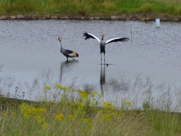 SA Grey Crowned Cranes