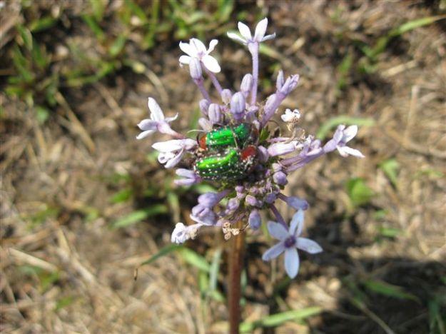 20101010 - BeaconHill flora _04_Pentanisia prunelloides