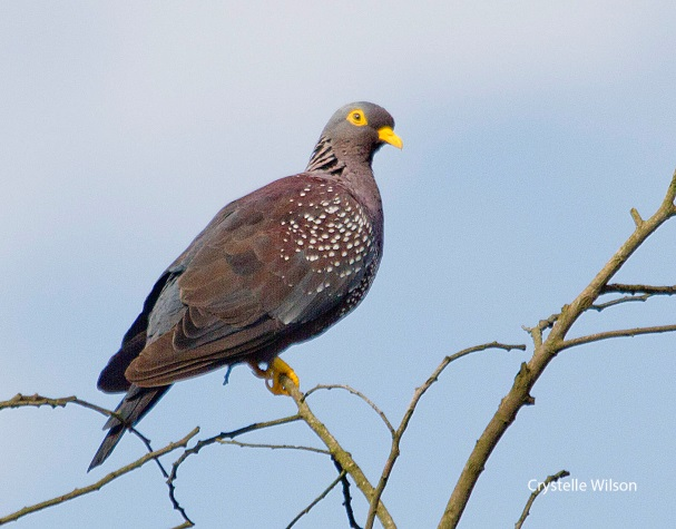 april african olive pigeon