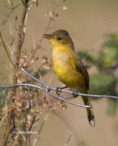 april dark capped yellow warbler