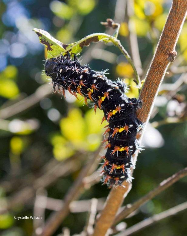 April emporer moth caterpillar