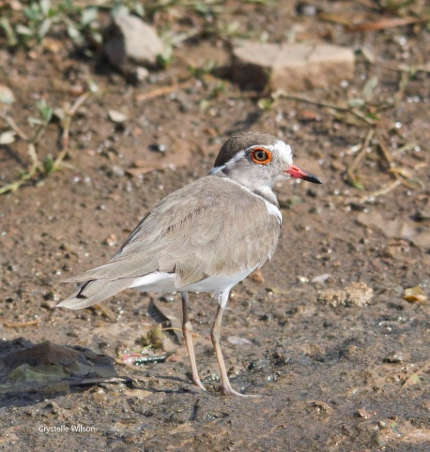 april three banded plover