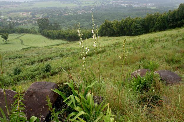 chlorophytum on Beacon Hill res.