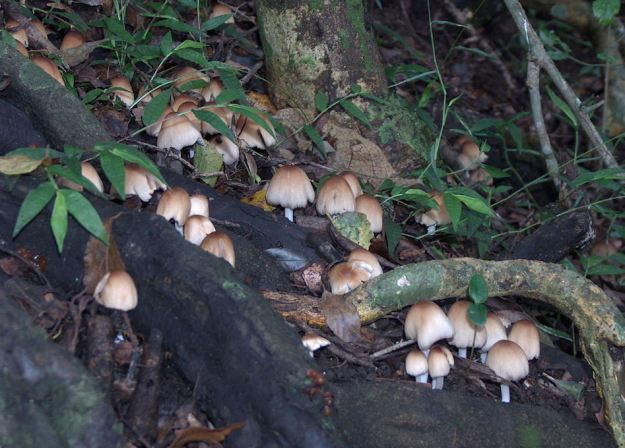 fairy mushrooms. r