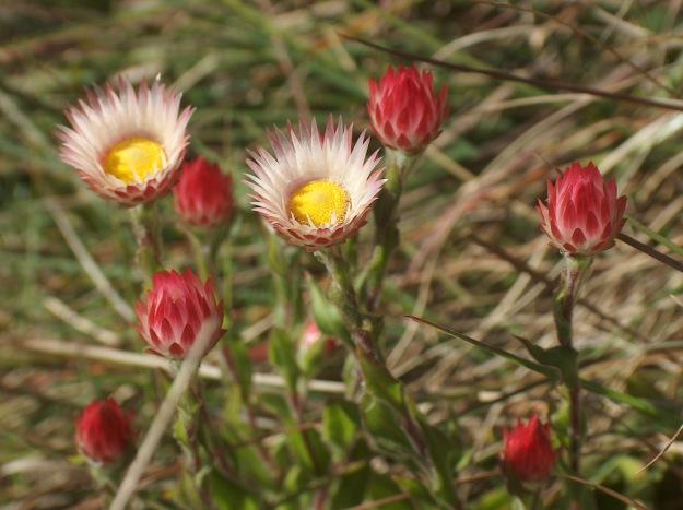 Helichrysum  adenocarpum