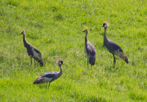 march grey crowned cranes
