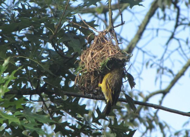 Weaver building nest in March