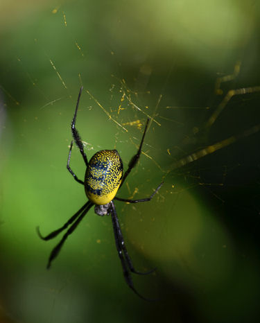 Golden Orb Web Spider crop