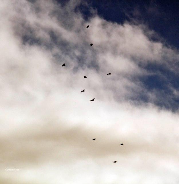 2013Jun09_Cape Vultures_s