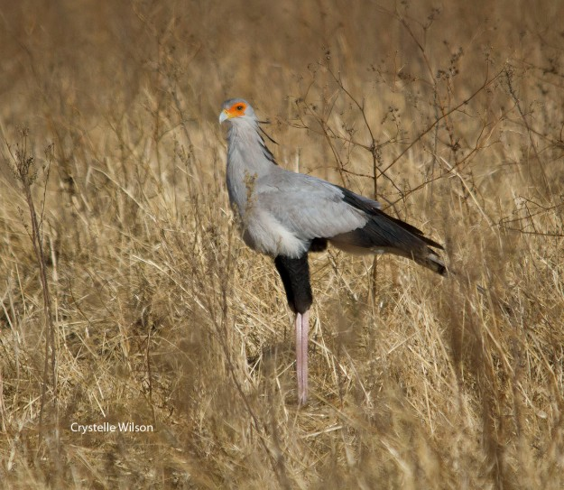 2013Jun17_Secretarybird_0945_s