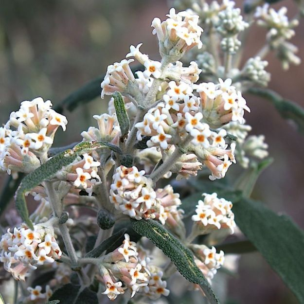Buddleija salvifolia CGrant
