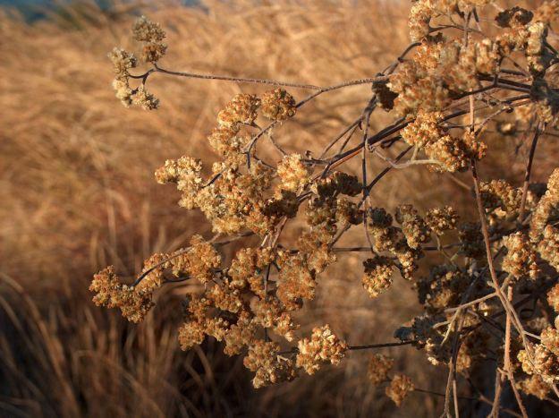 dried helichrysum