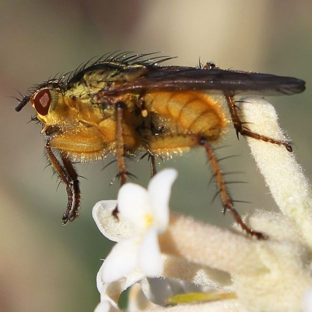 Dung Fly CGrant