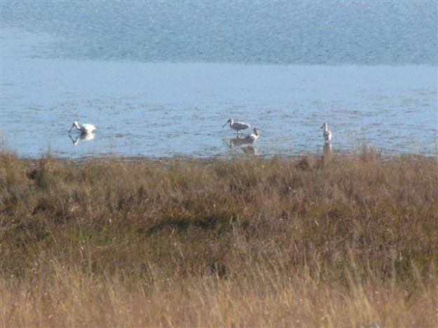 spoonbills in dam