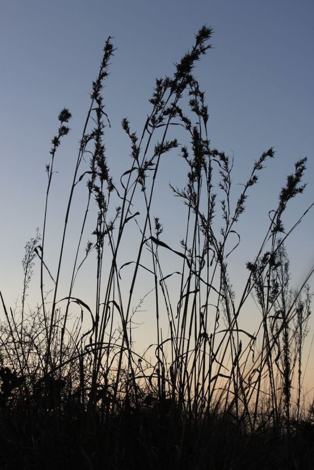 Winter morning Grasses CGrant