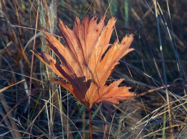 winter pleargonuum leaf. res. JPG