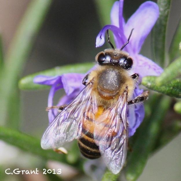 2013 07 11 Bee CGrant