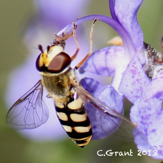 2013 07 11 Hover fly 02 CGrant