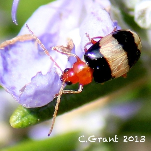 2013 07 11 Leaf Beetle CGrant (1)