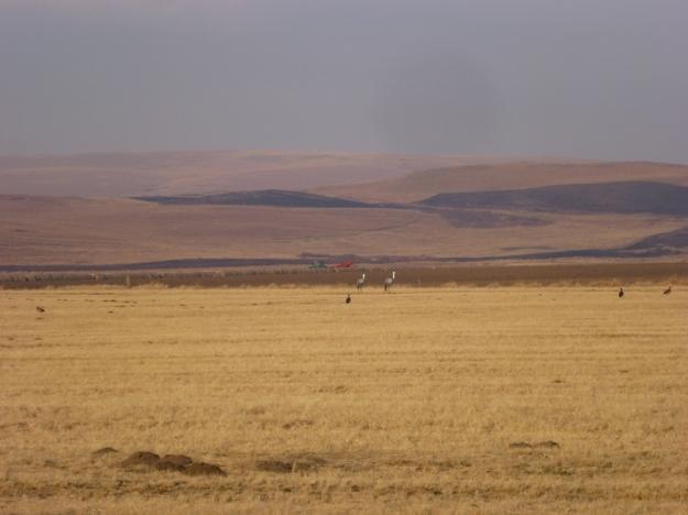 Ivanhoe_Wattled Cranes_landscape