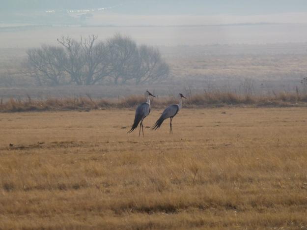 Ivanhoe_Wattled Cranes_landscape_1