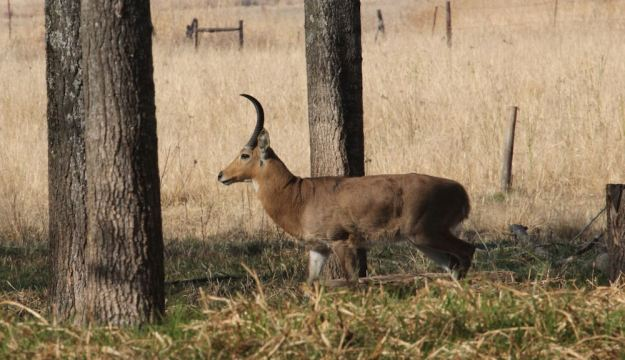 Reedbuck resized 1